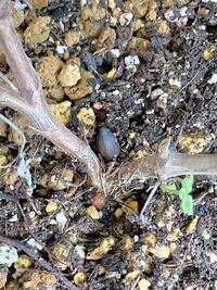 ハーブゼラニウムの鉢植えなのですが、根元にドングリの実のようなものができました。 根から生えているようで、大きさは1センチほどです。 これが何だか分かる方はいますか? 調べても似たような例が見つかりません。 何だか気持ち悪いのですが、放っておいて大丈夫でしょうか。