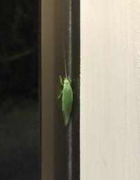 この虫について教えてください   触覚がツノのように1本しか生えていない 緑色のバッタのような虫がいました  (触覚が取れてしまっただけかと思いましたが もう1匹も同じ形をしていまし た)  物音にも驚...