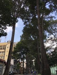この樹高のある街路樹の名前を教えて下さい。 ベトナムのホーチミンです。 日常の見慣れた風景なんですが、そういえば、何という 木か知らなかったなと思いまして。 どなたかご存知の方、よ ろしくお願いしま...