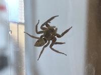 閲覧注意    画像のクモはなんという種類のクモでしょうか。  足を含めた大きさは、小指の爪よりやや大きいくらいです。