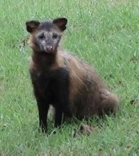 これは犬でしょうか?狸でしょうか?ゴルフ場で見かけたそうなのですが。