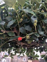 街路樹、野草、植物に詳しい方教えてください! これはなんの木ですか? 一つだけ実が赤くなっていて気になりました。