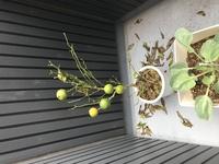 みかんの木の葉っぱが1日ですべて落ちてしまいました。  ホームセンターで実付きの温州みかんを購入しました。鉢植えで樹高は1m弱。 ところがベランダに置いていたところ、5日目くらいで葉っぱが全て落ちてしまいました(>_<) 購入後に水やりはしていませんが、雨が降った日があったため土は常に湿った状態になっていたと思います。 この木はもう復活しないでしょうか? また原因はなん...