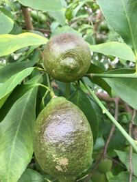 教えて下さい。 レモンの実の表面が茶褐色になってきました。 これは何が 原因でしょうか? ほとんどの 実がこの状態です。 このまま 収穫時期になって 食べれるでしょうか? 宜しく ご指導ください。 ちなみに 庭植えで背丈 3Mほどの木です。