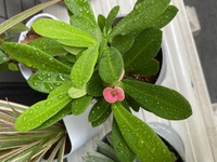 観葉植物について 100均でこの観葉植物を買ったのですが 名前がわかりません 教えていただけると幸いです