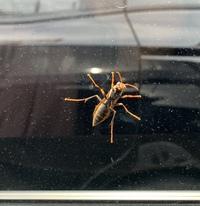 この蜂の種類を教えてください!  今日車から降りようとしたら 窓の外側にこの虫が止まっていました。  スズメバチかな?と思ったのですが こんな大きさ(3-4cm)のを 余り間近で見たことがなく…  怖くて内側からしか 写真は撮れなかったのですが 今後でくわした時のために知っておきたいです!  どなたか詳しい方おりましたら 教えてください、宜しくお願いします。