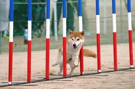 柴犬にアジリティは難易度高いですか? 柴犬が参加していたのを見たことがありますが、ひたすら根気で練習でしょうか?
