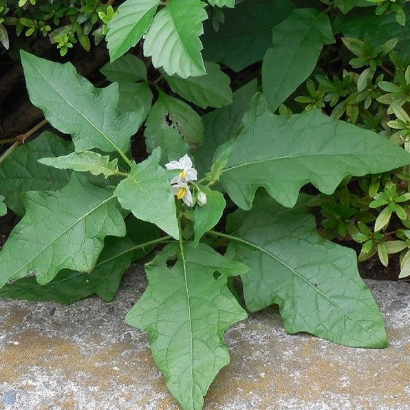 画像の植物というか雑草の名称は何なのでしょうか。 ・ 小さい花を咲かせていますが、じゃがいもやナスの花に似ているような気がします。