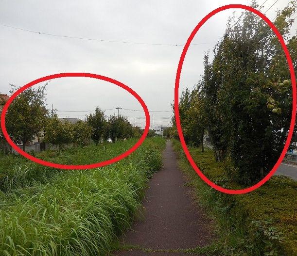 画像は、埼玉県三郷市の用水路の両脇に植樹されている樹木でございます。 樹木の名称は何と「かりん」でございます。 すでに大きな実がなっています ・ ここで質問です。 全国的に「かりん」を用水路の両...