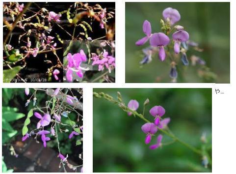 ひっつき虫警報! 庭に、小さい紫色の花が咲いていたら、 根絶しましょう! あれっ!可愛い花が咲いている、、、などと 甘い顔で見ていると大変です。 「 荒地盗人はぎ 」 と言います! これ、 ひ...