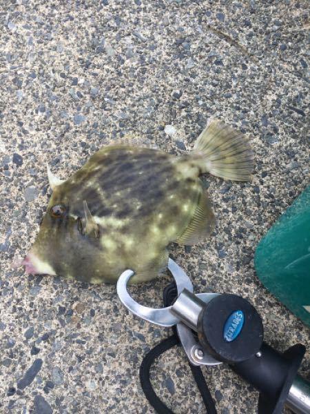 いま釣れた魚ですが、これはカワハギですか? 食べても大丈夫でしょうか?