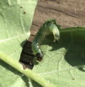 庭のオクラに次の虫がついてしまいました。一晩でかなり食べられてしまったのですが、これは何の幼虫なのでしょうか? また周りにある黒いものはその虫の卵なのでしょうか? お分かりになる方がいらっしゃっ...