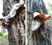 キノコの名前を教えてください。 マユミの木にキノコが群生しています。 完全な円形でなく、大きいもので長径が6cm。 傘の上面が白っぽくビロード状? 下面はヒダはなくブヨブヨした感じです。 多くは乾燥しかけ...