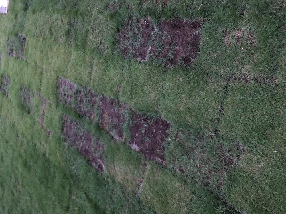 2020/9/23 18:04 芝を5月の連休で張ったのですが、成長の悪い箇所が中々生えて来ません。 復活する方法があるのか、それとも新しい芝を購入し張り替えた方が良いのか教えて頂ければ幸いです。