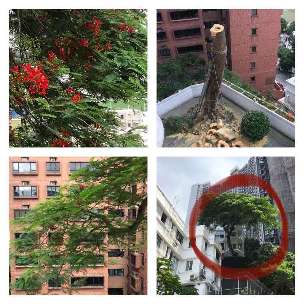 この木の名前を教えてください。 写真の木は香港でよく見かけます。ハワイなど南国でも見かけます。 真夏に赤い花を咲かせて、大きなものは高さ20m以上もあります。 自宅3階のベランダからちょうど緑...