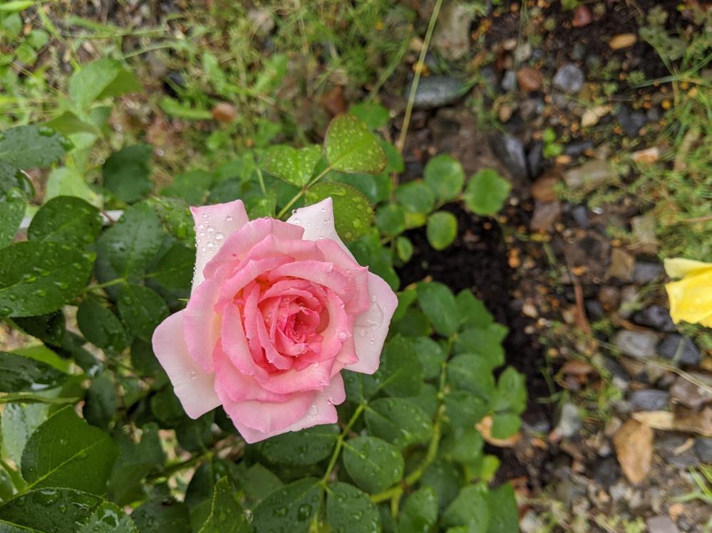 こちらのばらの品種分かりますか?つるバラでFlですが名札が飛ばされて名前がわからなくなりました。