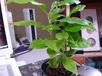 ホームセンターで水耕栽培用の観葉植物として「コーヒーの木」を、  「葉先が枯れて弱っている」からと言って、値引きしてもらったものを購入したのですが、  どのようにすれば元気になりますか??全くの初...