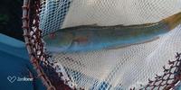 この魚の名前はなんですか?40cmぐらいです。