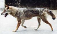 狼に似た 中型犬までの犬は何がいますか? 犬を飼いたいのですが、私には狼コンプレックスがありまして、立ち耳、顎が長い等、垂れ尾等、狼みたいな犬が欲しいんです。だからビーグルとかラブラドールはあんまり好 きじゃありません。  日本犬なんかいいですが、尻尾が巻いているのが玉に瑕です・・・。洋犬で狼に似ているのはハスキー犬がいますが、気候の問題で少し難しいです。  理想は画像の犬です。日本犬で尻尾...