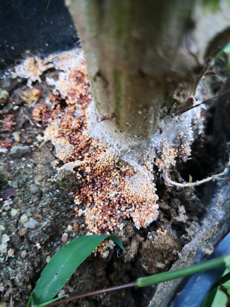 家庭菜園で育てている2メートル程まで成長した菊芋が突然枯れました。 よく見ると写真の様な症状が根本に出ていました。写真では茶色く変色し始めていますが、初日は全て真っ白な白い粒粒でした。 これはな...