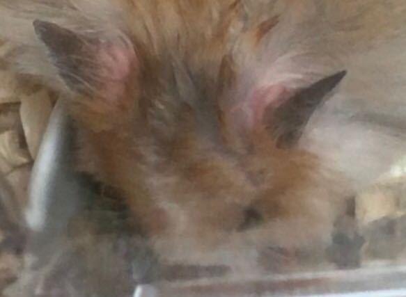 ハムスターの両耳の根本が赤いです。 買ってきたばかりのハムスターの両耳の根本が赤(ピンク?)っぽいことにさっき気づきました。 何かできものとかがあるわけではなく元気なのですが、これは肌の色が透...