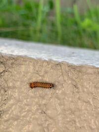 この毛虫はなんの毛虫かご存知の方いましたら教えてください。