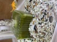 金魚水槽のろ過材のコケについて。 水槽のコケは石巻貝が綺麗にしてくれるのですが、ロカボーイが直ぐに緑になってしまい、10日に一度くらい活性炭マットを交換してます。 バクテリアは、GEXのベストバイオとサイクルを両方使ってます。  ロカボーイ以外の水や砂利はとても綺麗です。  よろしくお願いします。