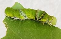 チョウに詳しい方教えて下さい。  お隣さんの木から頂いた幼虫の1匹が ナミアゲハではありませんでした。 ※脱皮前も緑でビチャビチャ濡れてる感じの子でした。  本で調べたらナガサキアゲハかな?と。  ただ古い本によると「関西より北ではみられない」とあり こちら千葉県です(謎)  この子の種類分かりませんか?  それとナミアゲハの幼虫は一緒にいたがりますか?  モロ臆...