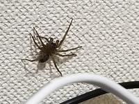 この蜘蛛はアシダカグモなのでしょうか。 アシダカグモやそのほかの益虫であれば、ほっといてもいいかなと考えているのですが、私自身が生物には疎いので見分けがつかず外へ出した方が良いか悩んでいます。ご判断...