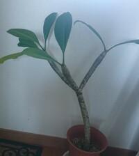 この植物なんて名前ですか? 葉を切ると白い液体が垂れてきます