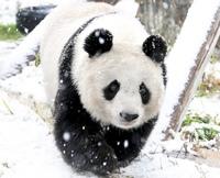 ぼくはパンダが世界で一番好きです  パンダのタンタンが中国に帰っちゃいます(TT) パンダ大好きです パンダ大好きですか?