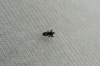 ベッドにダニのような虫がいました。 これはなんという虫でしょうか?