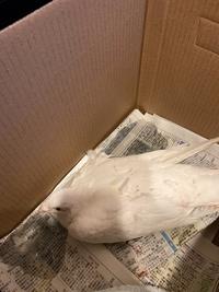 鳩を保護したのですが、どうしたらよいか分かりません。 朝早くに血だらけでいるのを見つけて、今まで玄関でダンボールに入れて様子を見ています。 (新聞紙を敷き、ホッカイロを箱の外側に貼って保温しています) 羽の付け根当たりから大量出血していて、なかなか止まらなかったのですが今はかなり落ち着き、水を目の前に持っていくとごくごく飲んでくれました。全く飛べないみたいです。 鳩を放すまで、何をすれ...