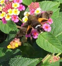蛾の種類  写真の蛾について 種類が分かる方、ご教示ください。  本日福岡県で撮影したものです。 こちらホシホウジャクでしょうか。