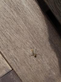 至急!!最近、小さい毛虫のような、幼虫が、ベランダにいます。 何の幼虫か、わかる方、至急回答お願いいたしますm(_ _)m駆除剤で、対応できるか予防方法、原因も、できれば知りたいです。 ちなみに、画像は、昨日、殺虫剤で、殺した死骸になるので、わかりずらいかもしれません。