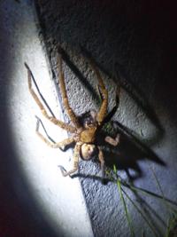 蜘蛛のアップ写真あり、閲覧注意して下さい。 夜、この蜘蛛が家の裏にいました。何か模様が怪しいのですが、名前分かりますでしょうか?ちょっとグロくてひいてしまいました。大きさは足を入れたら5センチ以上あ...