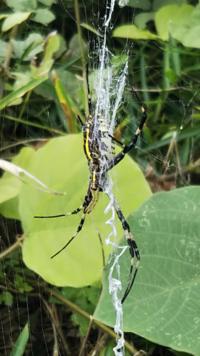 写真の蜘蛛がなんという名前か、分かる人いらっしゃいますか? 大きさは大体足も含めて6cmほどでした。