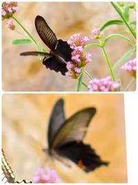 添付した写真に写っている黒いアゲハ蝶の種類がわかる方教えてください! ピンボケで申し訳ないです。。