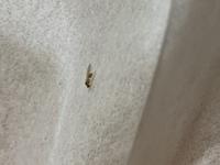 このアリ?が家の中で大量発生しています。 なんのアリだかわかりますか…?
