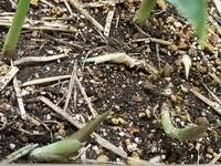 これはミョウガの花ですか?芽ですか? プランターで2年目のミョウガ栽培です。 1年目はぷっくりしたミョウガ3個できたので2年目に期待していましたが、ひとつも出来ませんでした。 9月になってから、根っこのあたりに曲がった細い花?のようなものがでてきました。くねっと曲がって生えてきて、細くて、掘るとすぐ根っこに繋がっています。 これは、花なのでしょうか?なぜ太くならなかったのでしょう? その他に...