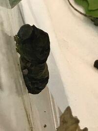 日曜日の夜に青虫ちゃん達に葉っぱをあげようといつものように虫かごをずらして中を見たら1匹の子が前蛹になる為に糸をかけていました。 虫籠がずれた振動で気が散ってしまったのか途中で糸掛をやめてしまいまいました。  それでも横にある糸は見えていてきちんとケースにぶら下がっていて次の日にはくの字のような勾玉の形では無いものの、蛹になる前のようないつもような黄土色ノシワシワに変わっていたのでこのまま蛹...