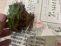 サボテンの鉢を誤って蹴飛ばしたら、サボテンが鉢から外れてしまいました。 根がちゃんと張ってなかったようです。 このサボテンは、何か問題あるでしょうか? これから栽培するのに、根を張らせる対処法を教え...
