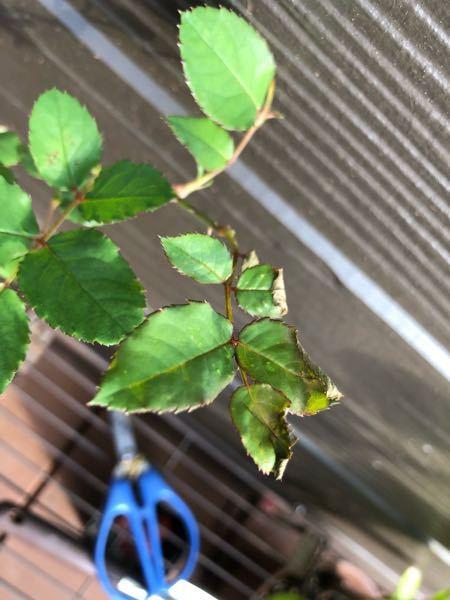 バラの葉が一部、縮れています。 何か病気ですか? 対応の仕方を教えて下さい。