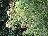 この植物の名前と、特性を教えて下さい。 無人になってしまった、田舎の実家の手入れをしているのですが、繁殖力が強くて、あっという間に 木になってしまって、どう対処したら良いかいつも困っています。 特性...
