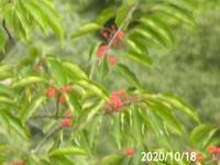 木の名前を教えてください、 岐阜県遠見山で 撮影20201018