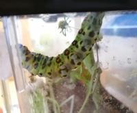 【虫画像注意】  この虫は何の幼虫ですか?
