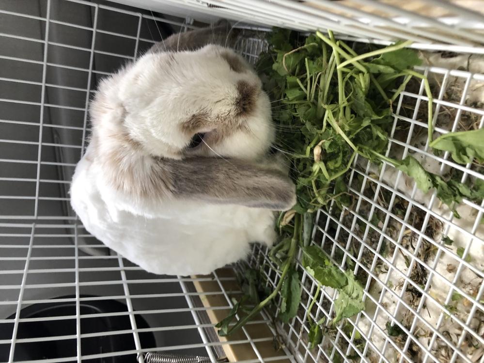2018年3月生まれ、ウサギさん、ホーランドロップ種、雄を先日亡くしました。 とてもフワフワして可愛かったのですが、私自身がお出かけが大好きで、家にいる事が少なかったです。ワンちゃんだと連れて外...