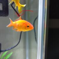 金魚の病気について詳しいかたお願いします。  ①写真の病気は水カビでしょうか? (背ビレに穴があいていてその付近が白くなっている) ②ほかの金魚(全部で4匹)も感染しているかもしれないので他の金魚もまとめて60...