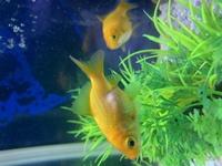 夏頃から飼っている金魚が数日前から少し動きが鈍いです。 お腹も少し膨らんでるような気がします。 何か病気ですか?