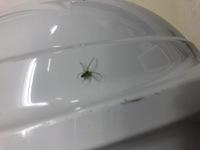 この蜘蛛ってなんていう名前の蜘蛛ですか? 色は黄緑色で、体長は10~20mmほどでした。